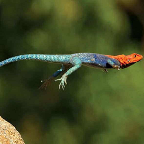Robot Uses Lizard Tail to Leap - Scientific American