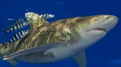 5 Shark Species May Gain Protection Boost from New Findings
