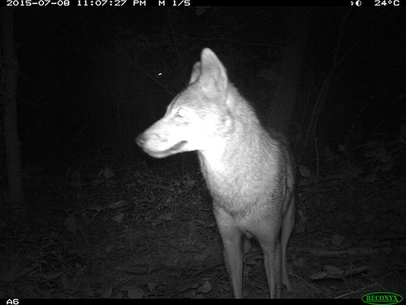 Cameras Catch Coyotes as They Take Manhattan [Slide Show]