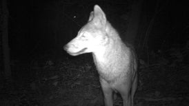 Cameras Catch Coyotes as They Take Manhattan [Slide Show]