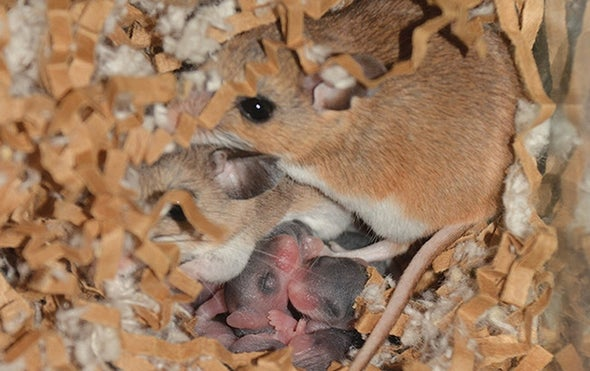 Why Some Mice Seem to Make Bad Parents