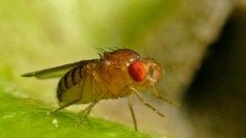 Gut Microbes Help Keep Starved Flies Fecund