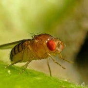 Gut Microbes Help Keep Starved Flies Fecund
