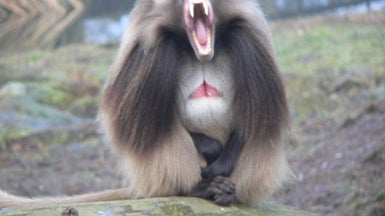 Baboons Use Yawns to Convey Social Messages
