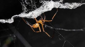 Male Black Widows Poach Rivals' Approaches