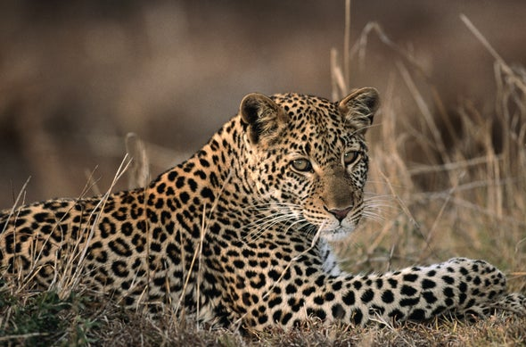 Big Cats and People Live in Close Quarters in India