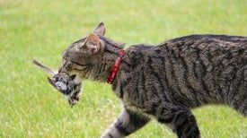New Data on Killer House Cats