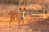 Inside Australia's War on Invasive Species