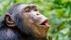 Human Speech Evolution Gets Lip-Smacking Evidence