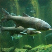 Invasion USA: Asian Carp Invaders Have Taken the Mississippi, Are the Great Lakes Next?