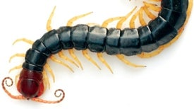 Centipede and Snake Venoms Form a Basis for New Pain Drugs