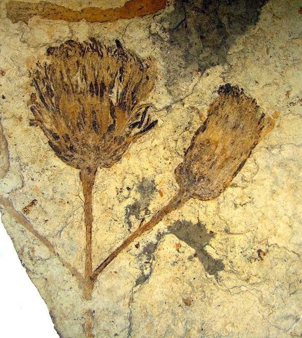 Early bloomer: Ancient sunflower fossil colors picture of Eocene flora