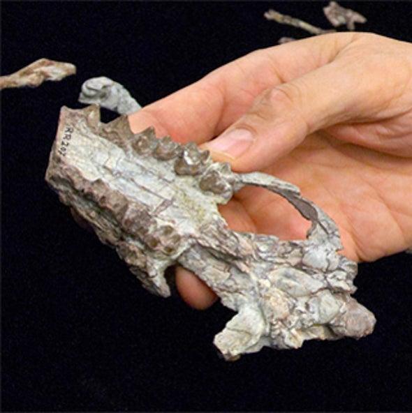 Closest Whale Cousin—A Fox-Size Deer?