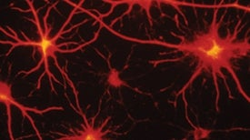 Certain Brain Cells Become Toxic in Lou Gehrig's Disease