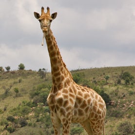 Giraffes Eat Bones--and Other Things I Learned on Safari [Slide Show]