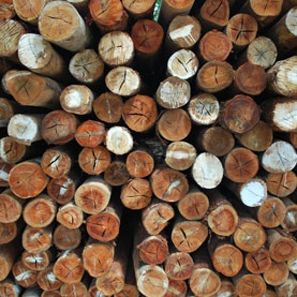 Illegal Logging Booms as Demand for Wood Grows