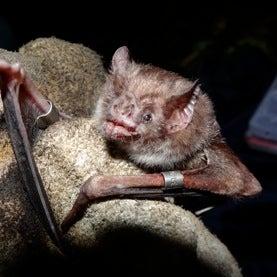 Bites from Vampire Bat...