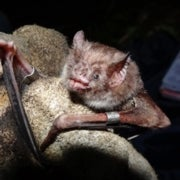 Bites from Vampire Bats Might Protect People against Rabies