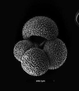 Globigerina-bulloides