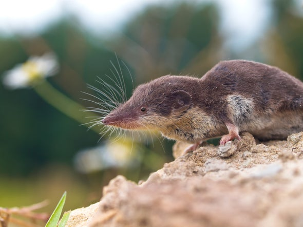 Virus Spread by Shrews Linked to Human Deaths from Mysterious Brain Infections