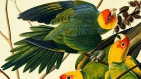 Audubon's Birds Live On Long After His Death