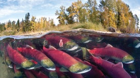 Salmon Slime Helps Scientists Count Migrating Fish