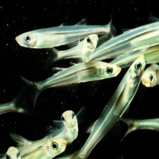 Slow Recovery for Shrinking Fish