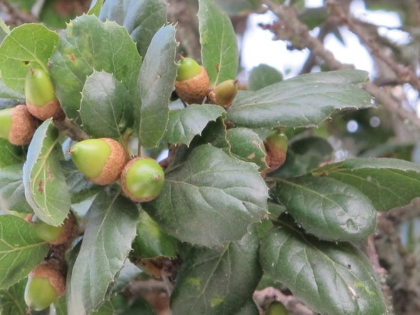 Is Reintroducing Acorns into the Human Diet a Nutty Idea?