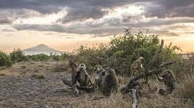 What Can Baboon Relationships Tell Us about Human Health?