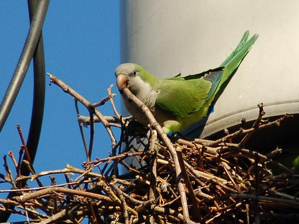 Parrots Are Making the U.S. Home