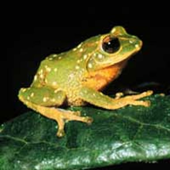 Scientists Spy Dozens of New Frog Species in Sri Lanka