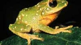 Scientists Spy Dozens of New Frog Species in Sri Lanka