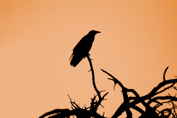 For Some Crows, Migration Is Optional