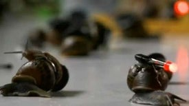Parasite Study Reveals Nocturnal Secrets of Snails