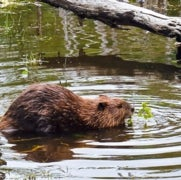 Argentina and Chile Decide Not to Leave It to Beavers [Slide Show]