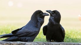 Young Ravens Rival Adult Chimps in a Big Test of General Intelligence