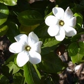 Nanu Gardenia - candidate species