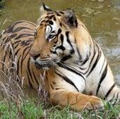 BIG CAT: