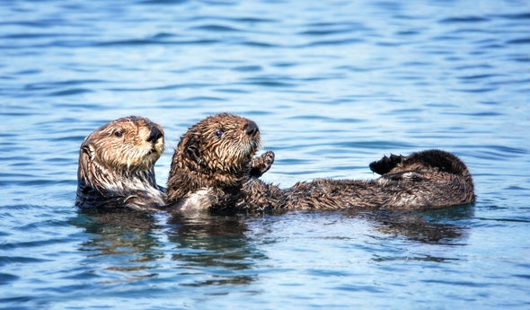 Sea Otters Could Get New Home in San Francisco Bay