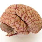 Fact or Fiction: When It Comes to Intelligence, Does Brain Size Matter?