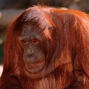 Orangutan Picks Cocktail by Seeing Ingredients
