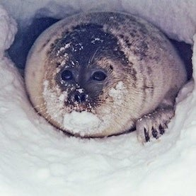 Ice Seals Get Endangered Species Protection
