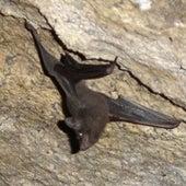 Seychelles Sheath-Tailed Bat <i>Coleura seychellensis</i>