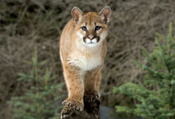 Cougars Are Returning to Midwest After 100 years