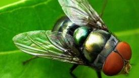 Flesh-Eating Flies Map Forest Biodiversity