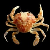 MARBLED CRAB: