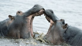 Hippo Meat-Munching May Explain Their Anthrax Outbreaks