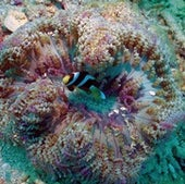 Clownfish are small