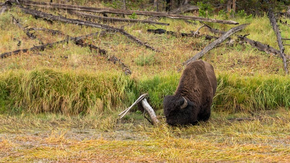 National Park Nature Walks, Episode 6: Yellowstone Bison and Marsh Birds