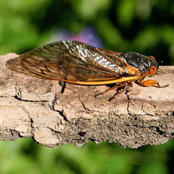 Cicadas Swarming U.S. East Coast Are Climate Change Veterans